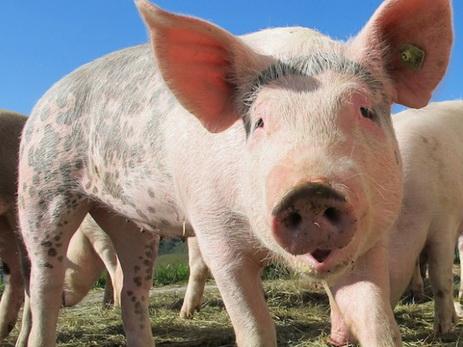Фермер потерял детородный орган и жизнь, подравшись со своей свиньей