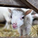 В южноафриканском селе родился «получеловек-полуягненок» – ФОТО