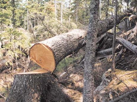 За незаконную вырубку деревьев в Хатаинском районе применен штраф в размере 2700 манатов
