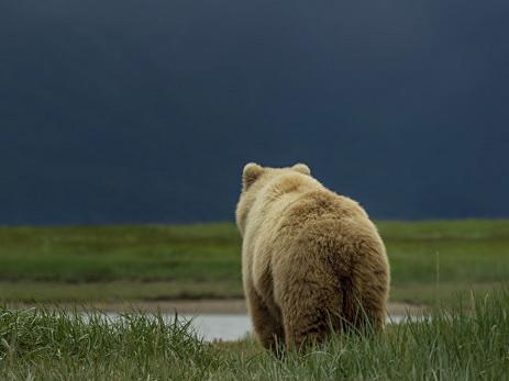 На Аляске одиннадцатилетний мальчик спас родственников от медведя