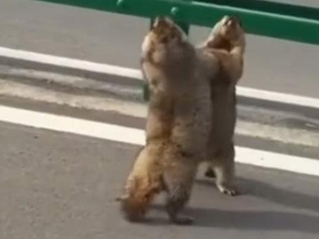 В Китае на улице подрались два сурка — ВИДЕО
