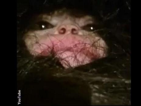 СМИ: В Азербайджане обнаружено странное существо, похожее на «человека-обезъяну» — ВИДЕО