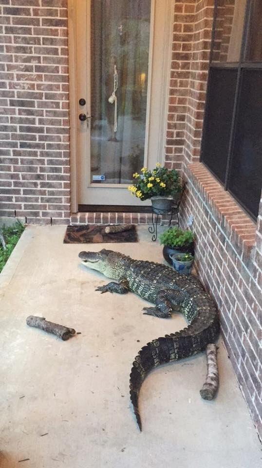 Ураган «Харви» выбросил на дороги Техаса живых аллигаторов - ФОТО