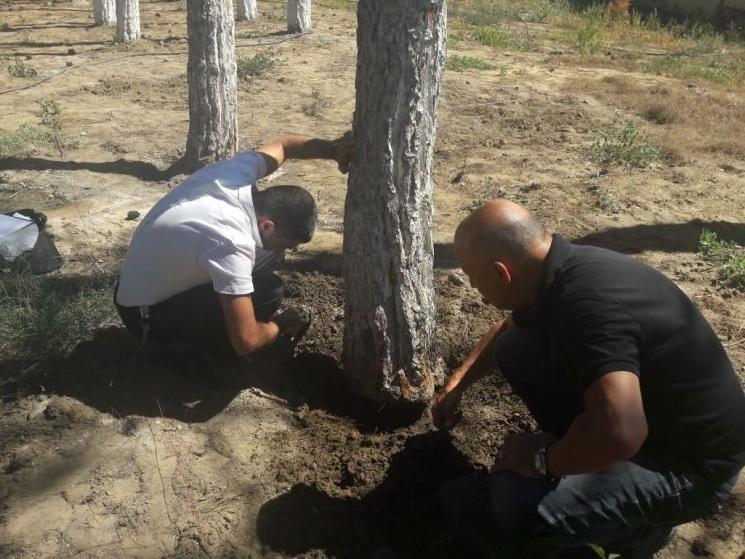 В Баку хозяин ресторана подсыпал химикаты деревьям, чтобы они засохли, дело передано в Генпрокуратуру - ФОТО