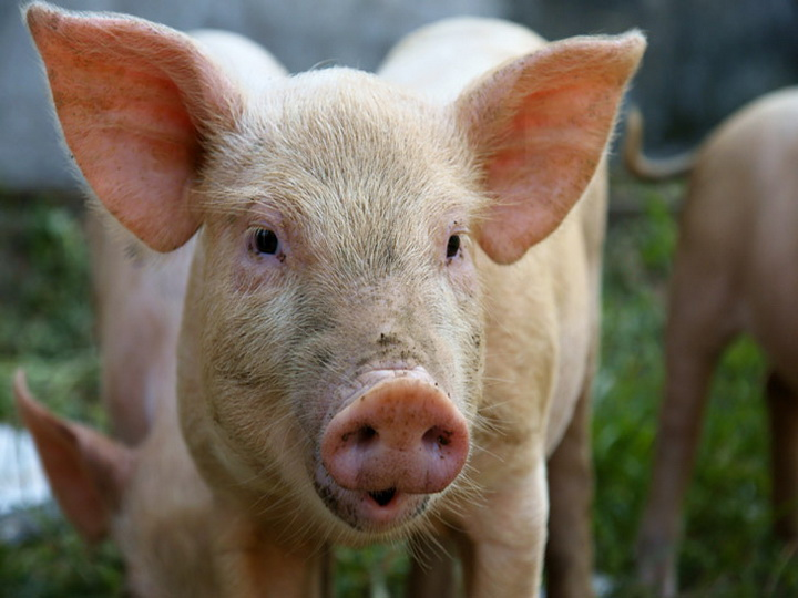 Людям могут начать пересаживать органы свиней