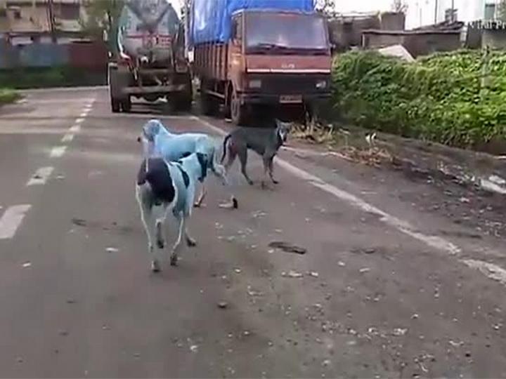 Бездомные собаки на улицах Мумбаи поголубели - ВИДЕО