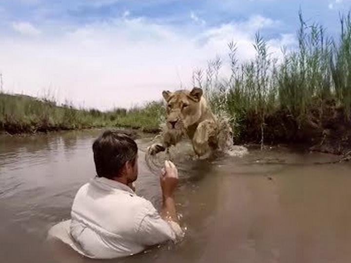 Так львица встречает человека, который когда-то спас её от голодной смерти — ВИДЕО