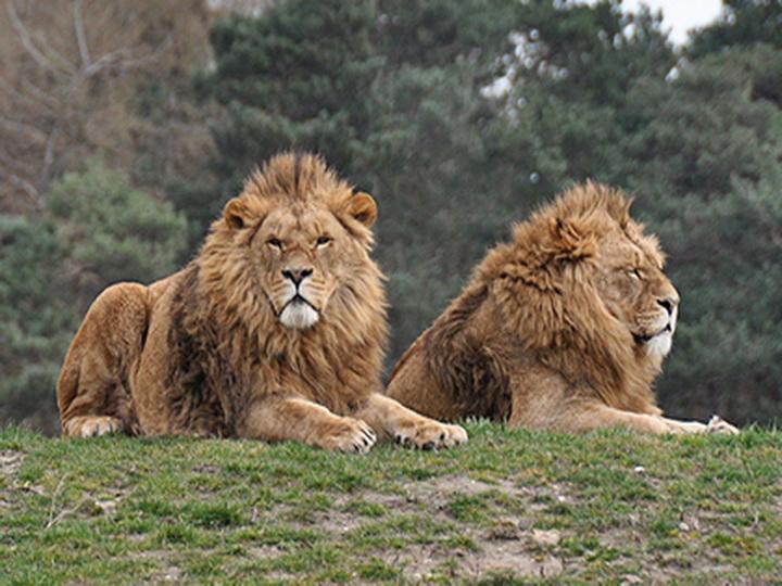 Двух львов застукали в объятиях на глазах у самки - ФОТО