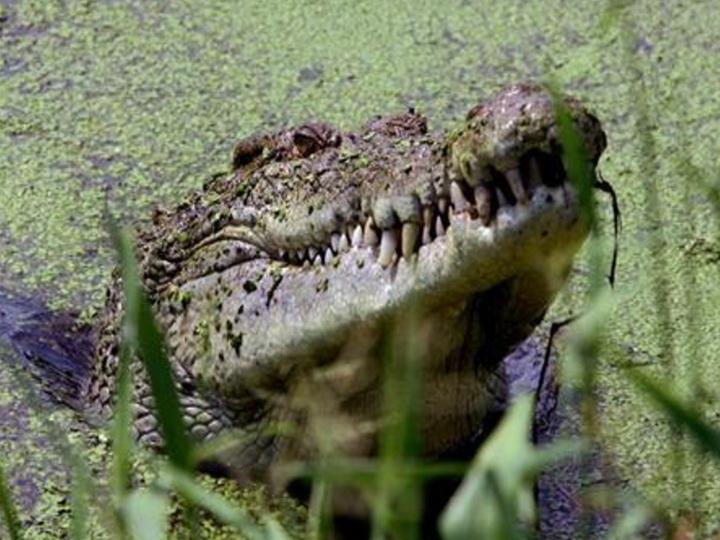 Крокодил уволок репортёра Financial Times, решившего сходить в туалет в джунглях