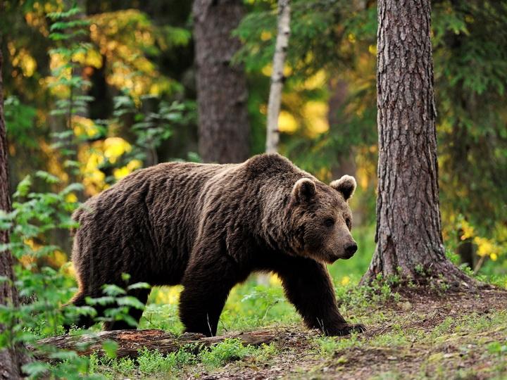 В России медведь насмерть задрал ребенка