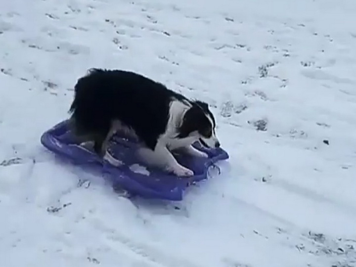 Любит саночки возить: на видео сняли катающуюся на ледянке собаку – ВИДЕО