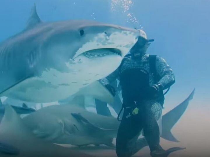 Дайверы покормили с рук беременную тигровую акулу – ВИДЕО