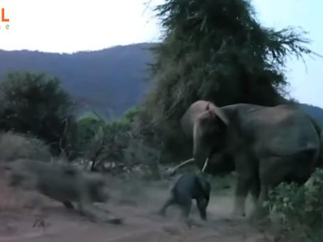 Схватка слонихи со львом попала на видео
