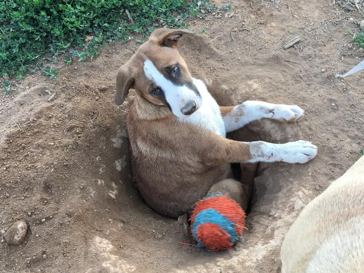 «Самая тупая собака в мире » застряла в самостоятельно вырытой яме и прославилась — ФОТО