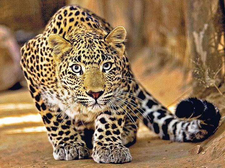 Леопард утащил исъел двух детей вИндии