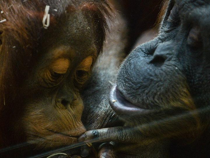 Индонезийские живодеры убили орангутана, выстрелив в него 130 раз - ФОТО