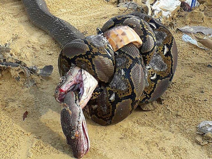 Огромные королевская кобра и сетчатый питон убили друг друга