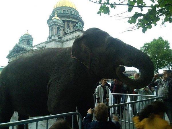 В центре Петербурга прогулялись и поели листвы слоны
