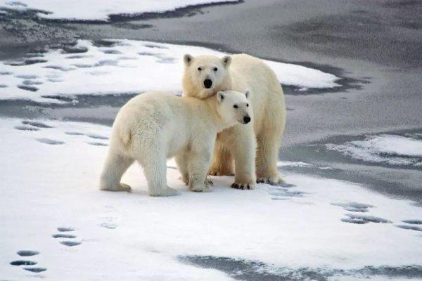 На Чукотке люди живут бок о бок с белыми медведями