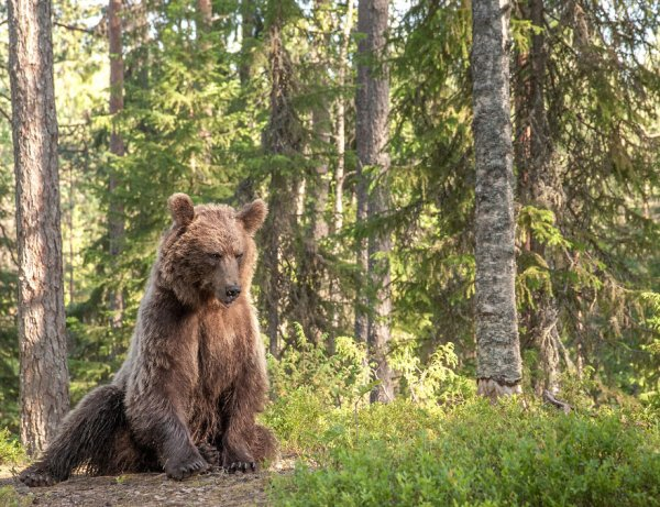 В Омской области медведи стали чаще нападать на домашний скот