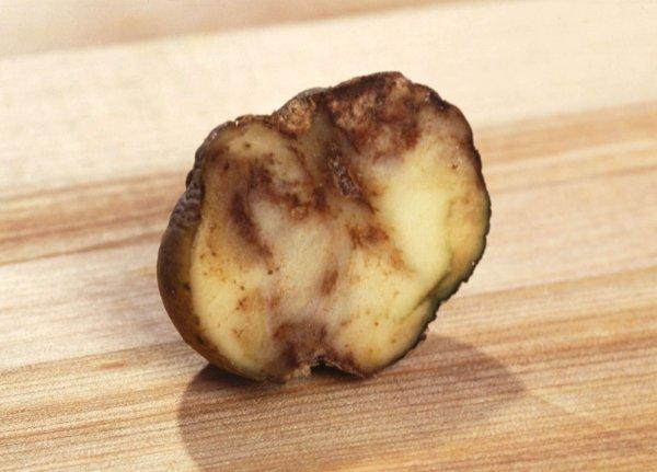 Россельхознадзор: Пораженный  картофель смертельно опасен