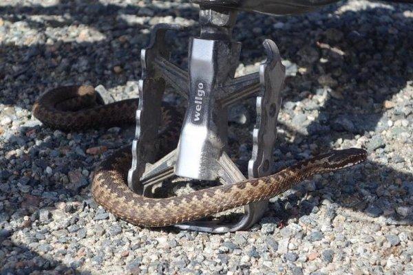 Житель Мурманской области столкнулся с редкой ядовитой змеей