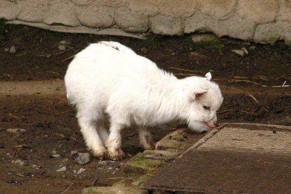 Жители Воронежа столкнулись с дамой, выгуливающей козла
