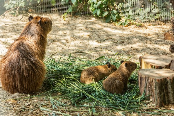 Самые крупные грызуны родились в Ростовском зоопарке