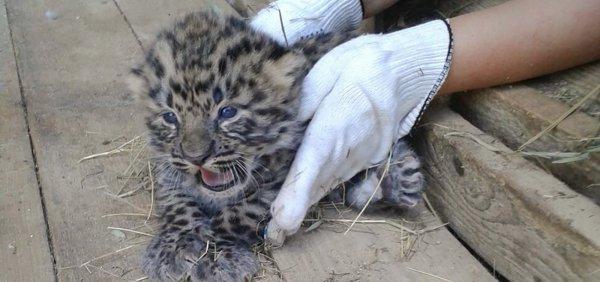 В Московском зоопарке впервые за 60 лет родились два детеныша дальневосточного леопарда