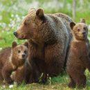ФСБ хотят причислить бурого медведя к стратегическим ресурсам