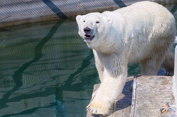 В нижегородском зоопарке поселился «московский» белый медведь