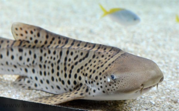 Впервые древний вид акул начал размножаться в неволе
