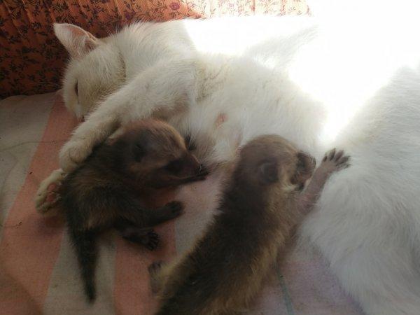 Кошка стала кормилицей для детёнышей енота в Новосибирском зоопарке