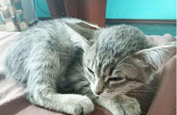 Мутант с другой планеты: Котенок из Новосибирска с четырьмя ушами умилил пользователей сети