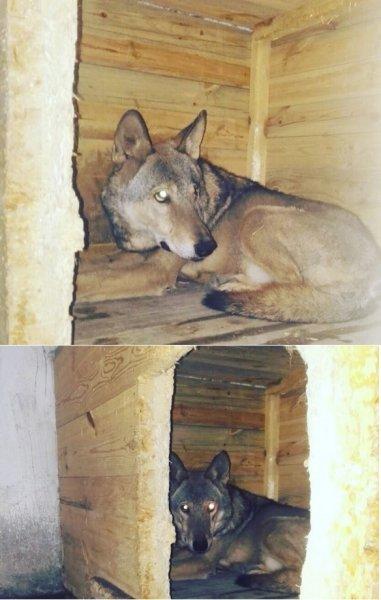 В Ростове жители поймали волка и не знают, что с ним делать